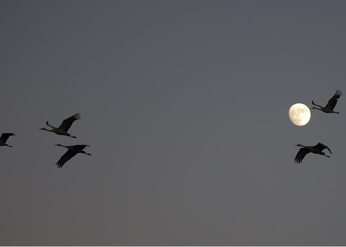 Sandhill Greeting Card featuring the photograph Moonlight Flight by Jean Clark