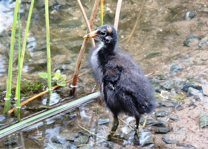 Long Toes Greeting Card featuring the photograph Moorhen Chick by Beth Williams
