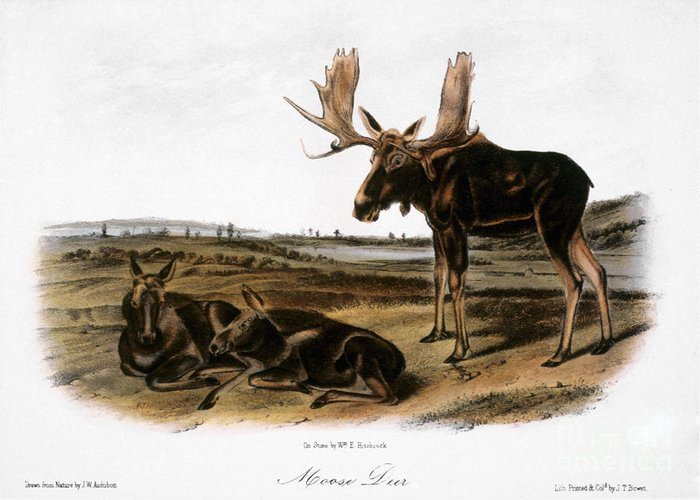 1846 Greeting Card featuring the photograph Moose Deer (cervus Alces) by Granger