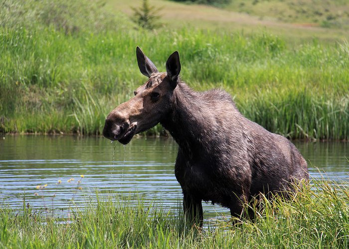 Nature Greeting Card featuring the photograph Moose In The Pond - 2 by MH Ramona Swift
