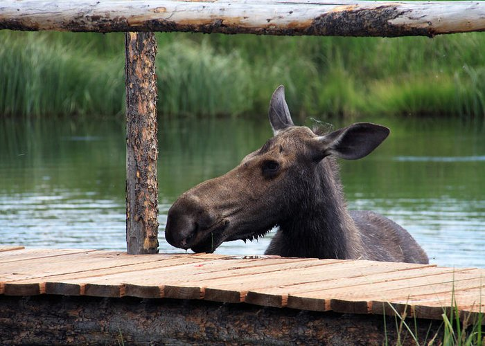 Animals Greeting Card featuring the photograph Moose In The Pond by MH Ramona Swift