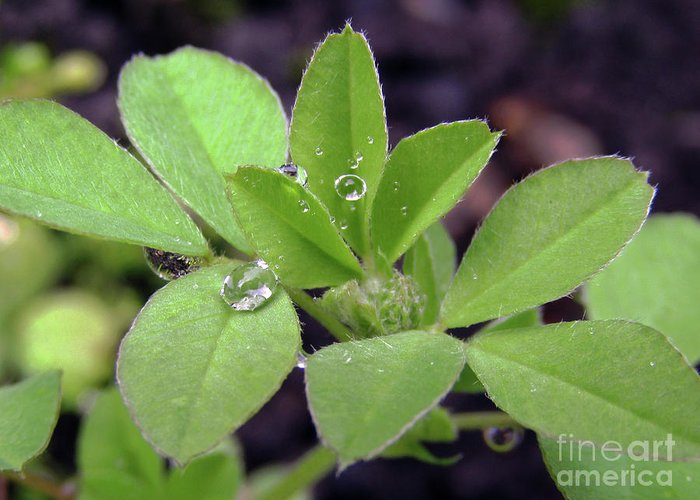 Rain Greeting Card featuring the photograph Dewdrops On Leaves by Kim Tran