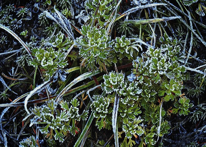 Ground Cover Greeting Card featuring the photograph Morning Frost by John Christopher