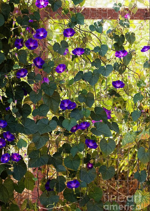 Purple Greeting Card featuring the photograph Morning Glories by Margie Hurwich