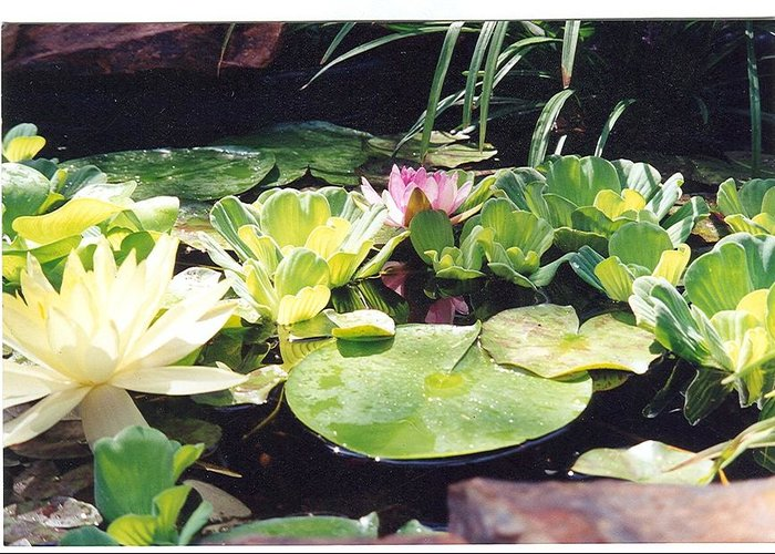 Waterlillies Greeting Card featuring the photograph Morning Pond by Laura Johnson