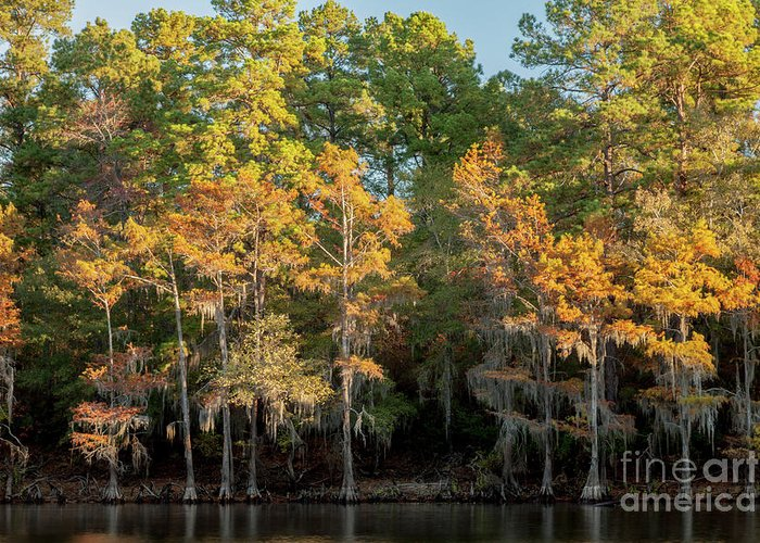 Cypress Greeting Card featuring the photograph Morning Reflection by Iris Greenwell