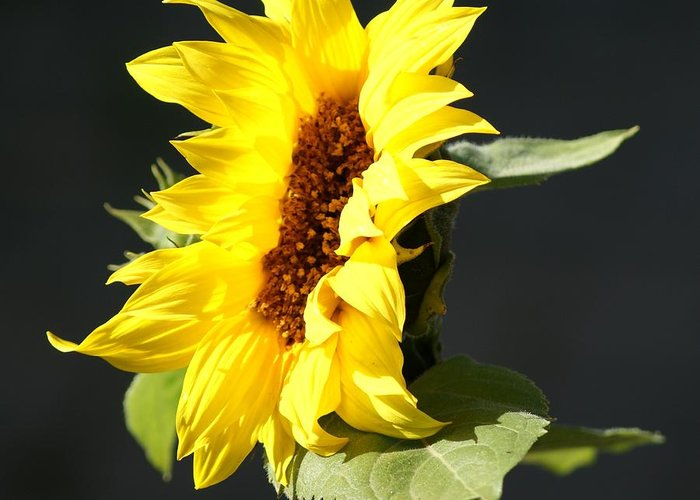 Flower Greeting Card featuring the photograph Morning Sunflower by Liz Vernand