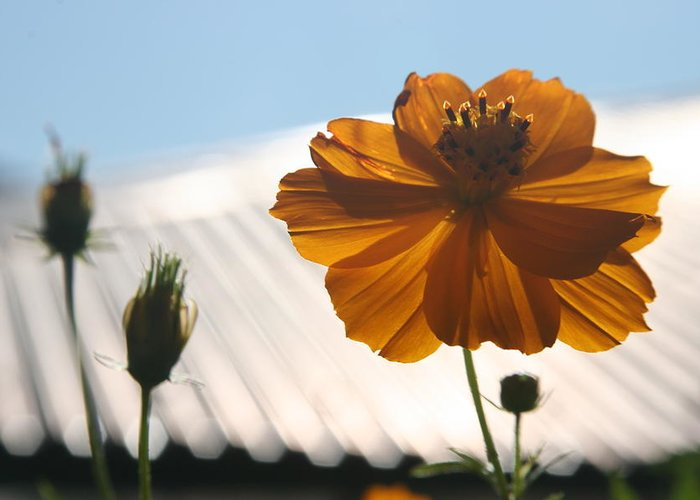 Orange Flower Sunlight Morning Bhutan Greeting Card featuring the photograph Morning Sunlight by Linda Russell