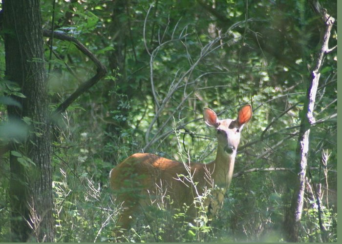 Deer Greeting Card featuring the photograph Morning Surprise by Judith Morris