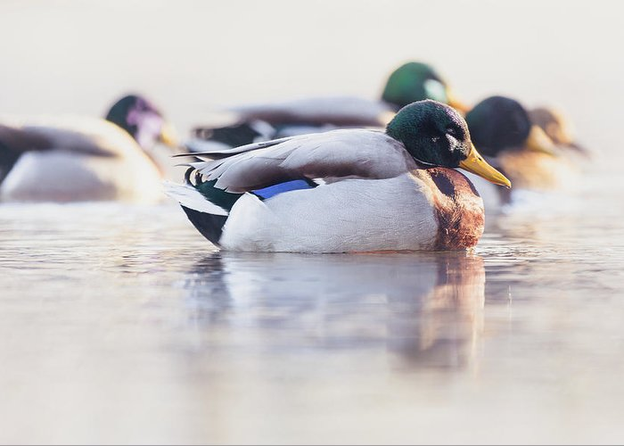 Duck Greeting Card featuring the photograph Morning Swim by Annette Bush