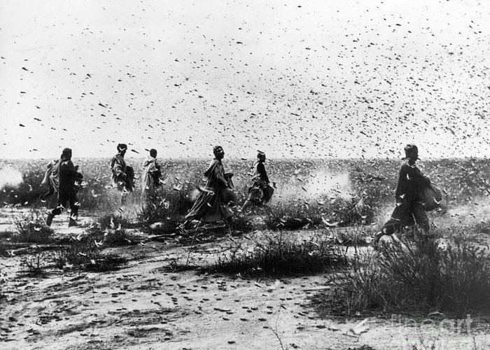 1954 Greeting Card featuring the photograph Morocco: Locusts, 1954 by Granger