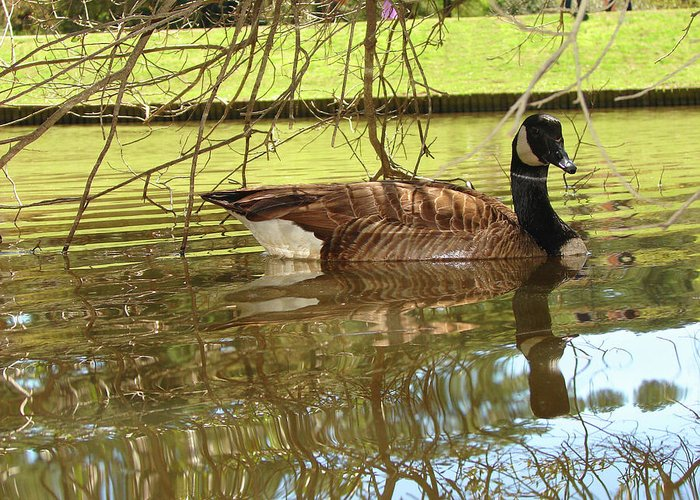 Goose Greeting Card featuring the photograph Mother Goose by Laura Brightwood