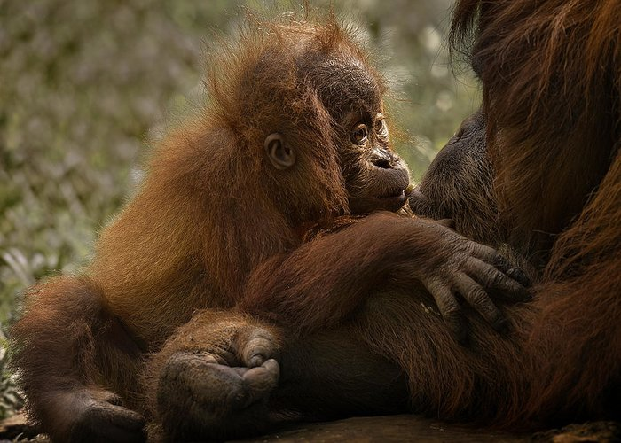 Orangutan Greeting Cards