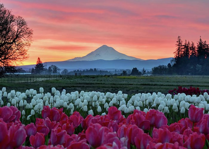 Mark Whitt Greeting Card featuring the photograph Mount Hood Sunrise by Mark Whitt