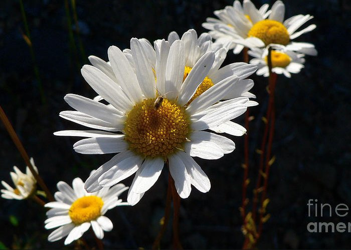 Flowers Greeting Card featuring the photograph Mountain Daisy by Larry Keahey