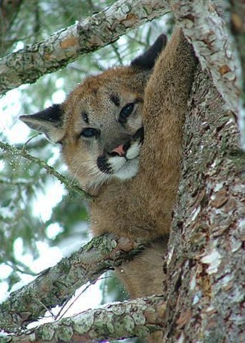 Photograph Greeting Card featuring the photograph Mountain Lion by Janice Robertson