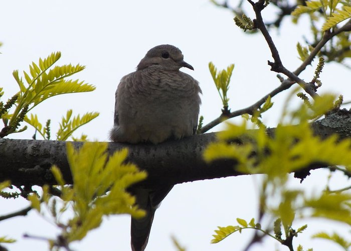 Song Bird Greeting Card featuring the photograph Mourning Dove 2 by Sheli Kesteloot