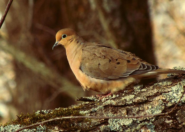 Photo Greeting Card featuring the photograph Mourning Dove At Dusk by Amy Tyler