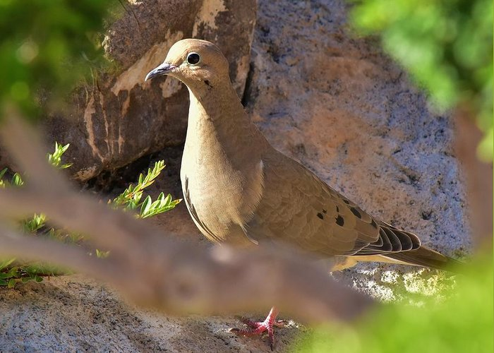Linda Brody Greeting Card featuring the photograph Mourning Dove On The Hillside by Linda Brody