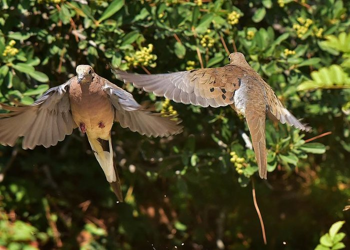 Linda Brody Greeting Card featuring the photograph Mourning Doves Wings by Linda Brody