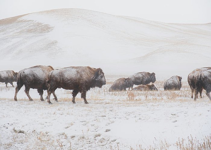 Buffalo Greeting Card featuring the photograph Move Out by Derald Gross