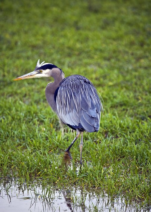 Heron Greeting Card featuring the photograph Moving by Karen Ulvestad