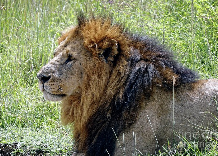 African Lion Greeting Card featuring the photograph Mr. Big Stuff by Stephen Schwiesow
