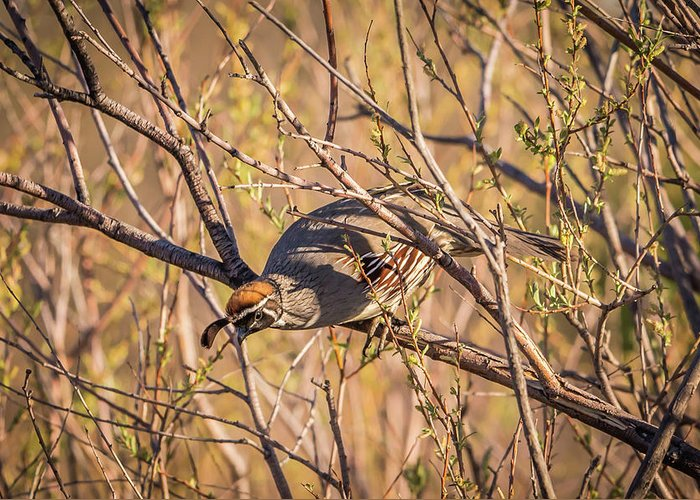 Gambel's Quail Greeting Card featuring the photograph Mr. Camouflage by Michelle Wittmer-Grabowski
