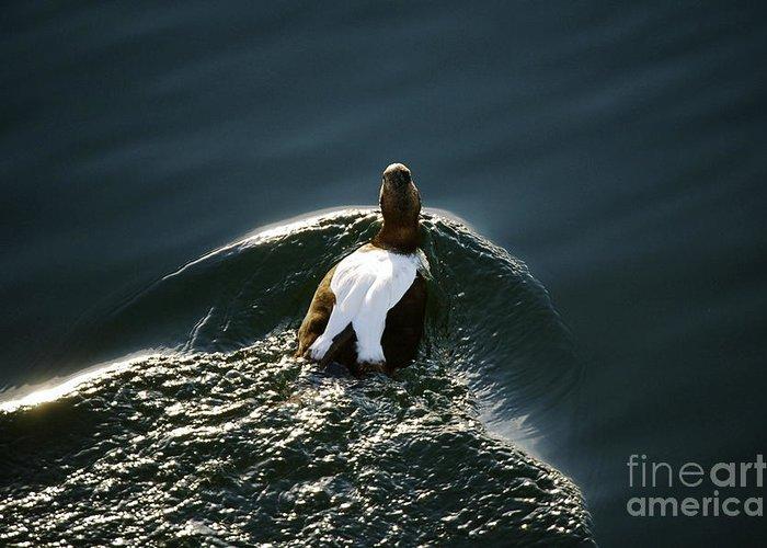 Duck Greeting Card featuring the photograph Mr. Eider by Faith Harron Boudreau