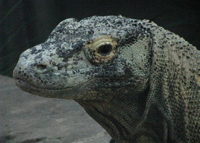 Dragon Greeting Card featuring the photograph Mr. Komodo by Donna Phitides