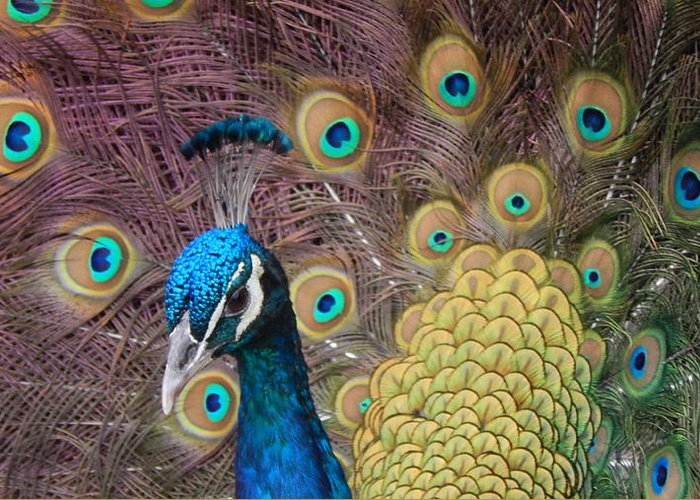 Peacock Greeting Card featuring the photograph Mr. Twinkletoes by Nancy Cavallin