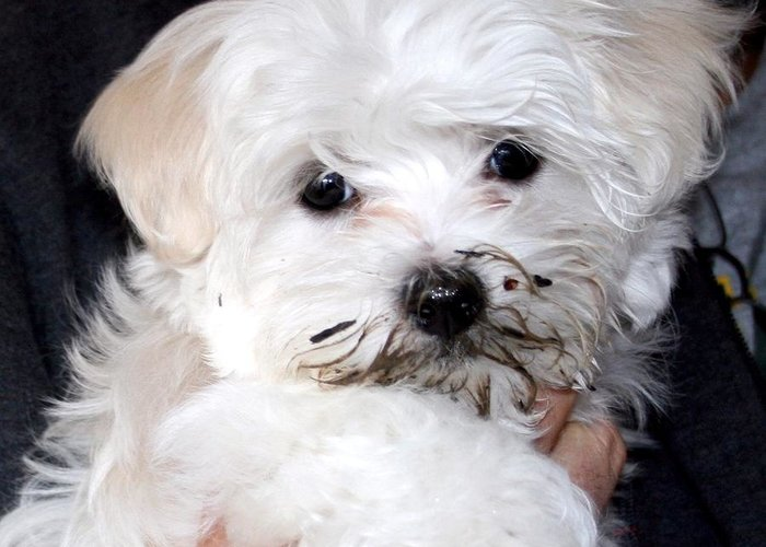 Maltese Puppy Dog Greeting Card featuring the photograph Muddy Maltese by BJ Redmond