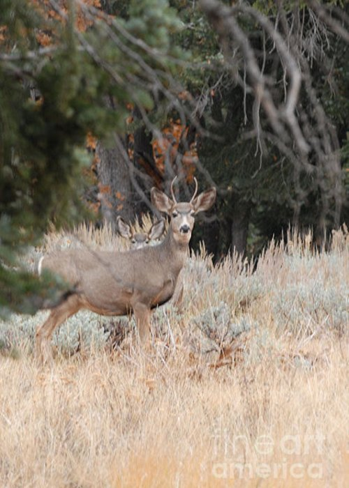 Deer Greeting Card featuring the photograph Mule Deer Buck by Dennis Hammer