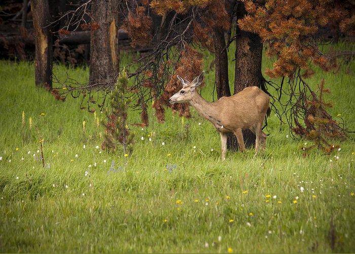 Mule Deer Greeting Card featuring the photograph Mule Deer by Chad Davis