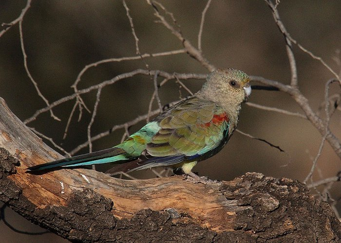 Parrot Greeting Card featuring the photograph Mulga Parrot Female A by Tony Brown