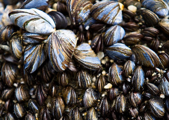 Mussels Greeting Card featuring the photograph Mussels by Justin Albrecht