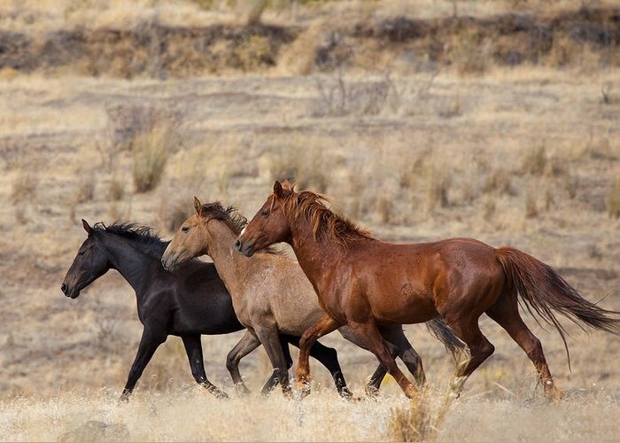 Horses Greeting Card featuring the photograph Mustang Trio by Mike Dawson