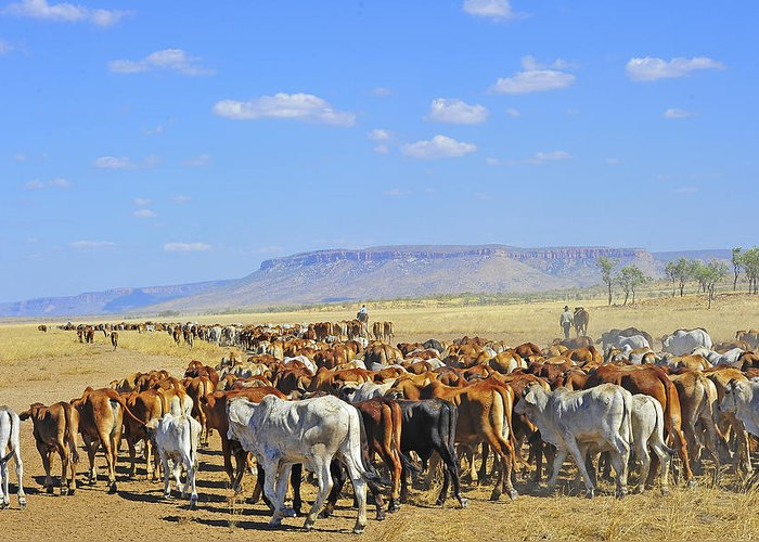 Mustering Greeting Card featuring the photograph Mustering Passed The Cockburn Ranges by Penney Hayley