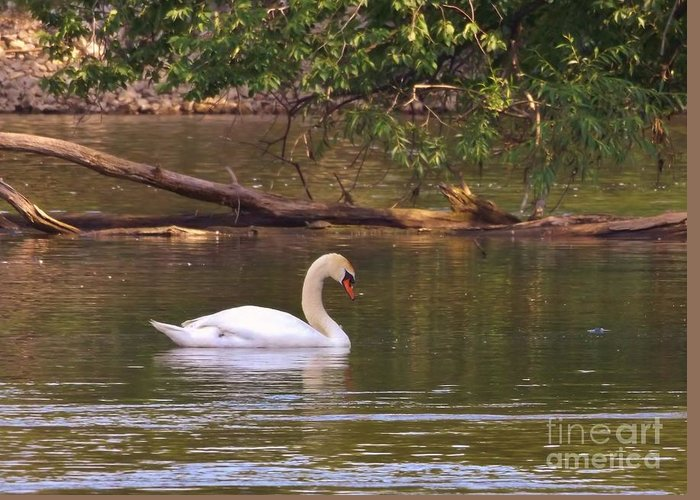 Avian Greeting Card featuring the photograph Mute Swan   Image 2   Spring    St. Joe River     Indiana by Rory Cubel