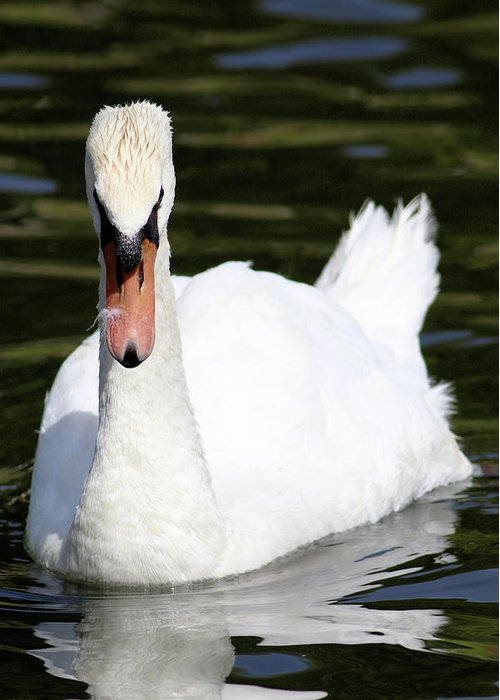 Swan Greeting Card featuring the photograph Mute Swan Feathers Of Lake Junaluska North Carolina by Carol Montoya