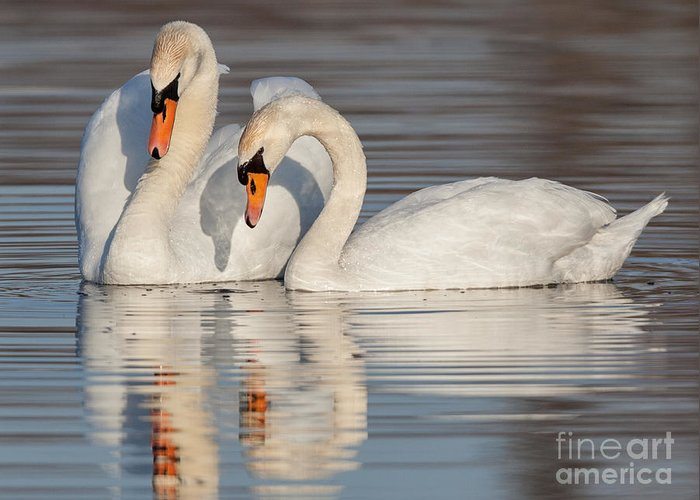 Mute Swans Greeting Card featuring the photograph Mute Swans by Jerry Fornarotto