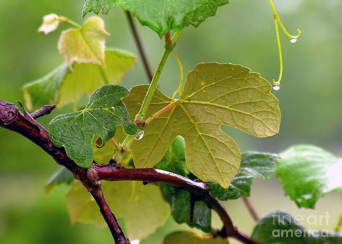 Grapevine Greeting Card featuring the photograph My Grapvine by Robert Meanor
