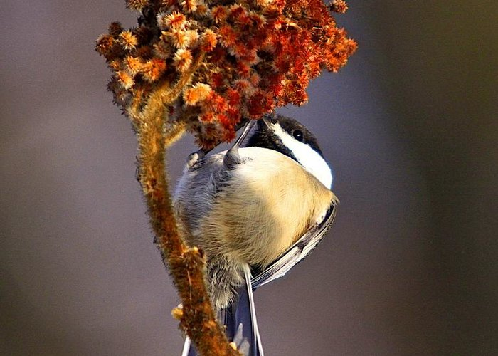 Bird Greeting Card featuring the photograph My Little Chickadee by Robert Pearson