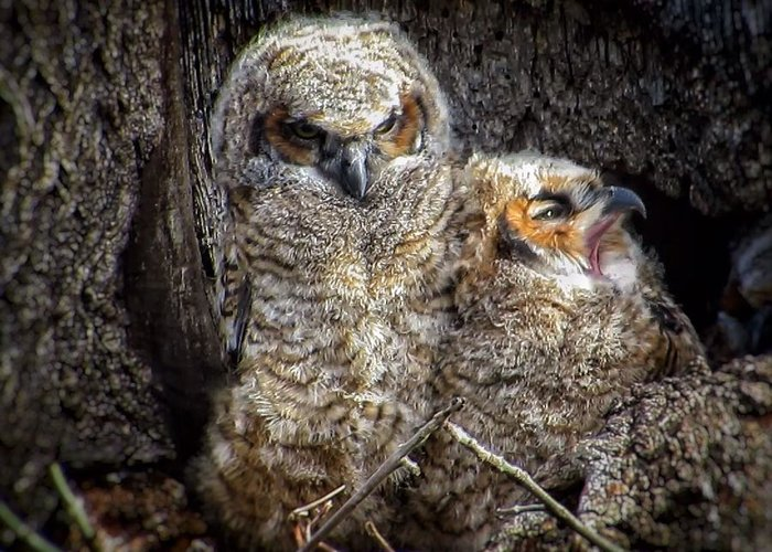 Great Horned Owl Greeting Card featuring the photograph Nap time by Rrrose Pix