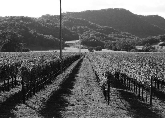 Black And White Greeting Card featuring the photograph Napa Valley Vineyard . Black And White . 7d9020 by Wingsdomain Art and Photography
