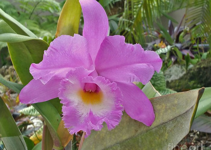 Flowers Greeting Card featuring the photograph Naples Orchid 3 by Pam Schmitt