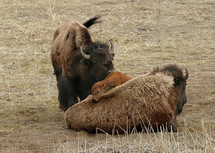 Bison Greeting Card featuring the photograph Nature's Pillow Top by Ronnie and Frances Howard