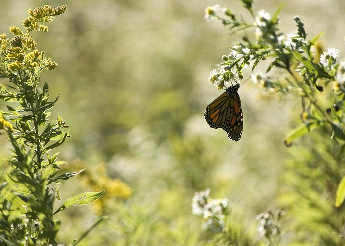Butterfly Greeting Card featuring the photograph Natures Simplicity by Elsa Marie Santoro
