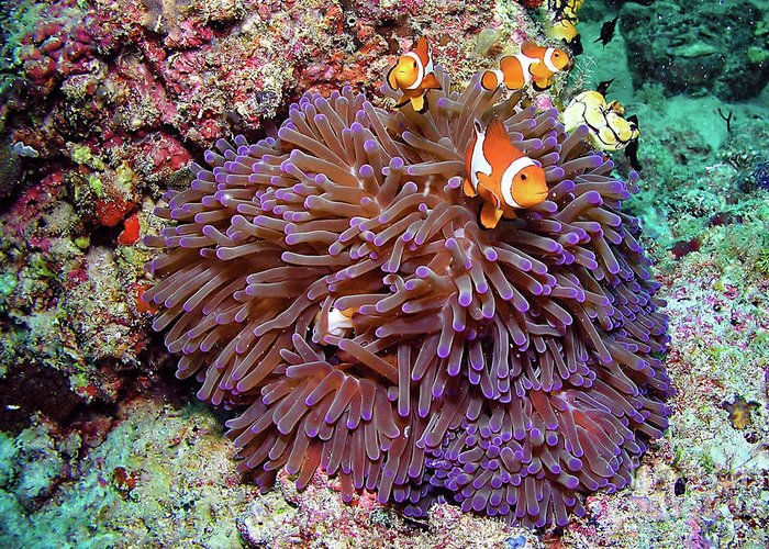 Anemonen Greeting Card featuring the photograph Nemo's Home by Joerg Lingnau