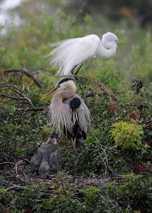 Egret Greeting Card featuring the photograph Nesting by Keith Lovejoy